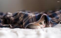 Cat Hiding Under A Blanket Wallpaper 1920x1200 Kitten under a blanket