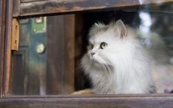 Cat White Window