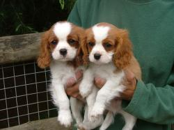 Cavalier-King-Charles-Spaniel-Puppies-For-Sale ...