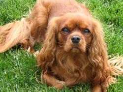 ... Cavalier King Charles Spaniel Ruby Cavaliers are intended to be entirely chestnut in color. Can Rubys have white in their coats? Many do.