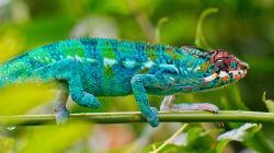 Blue Chameleon Lizard