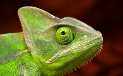 green chameleon side photo close up eye