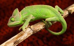 green chameleon on branch red background