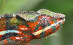 Chameleon Color Lizard Focus
