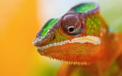 Lizard Close-Up Chameleon