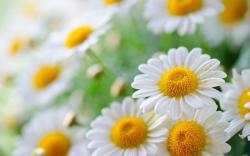 Chamomile Flowers Wallpaper
