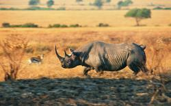 Animal - Rhino Charging Rhino Wallpaper