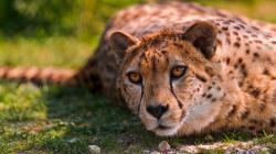 Cheetah beautiful eyes Wallpaper in 1920x1080 HD Resolutions