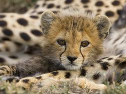Animal Cubs Cheetah Cub