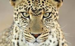 Cheetah Face 5