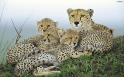 Cheetah Family Wallpaper