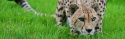 3840x1200 Wallpaper cheetah, grass, hunting, pose, lurk, big cat, spotted