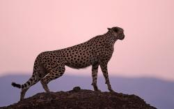 Cheetah Hill Wallpapers Pictures Photos Images. «