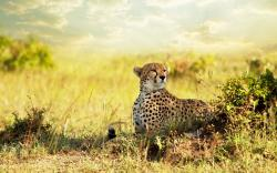 Cheetah Observing