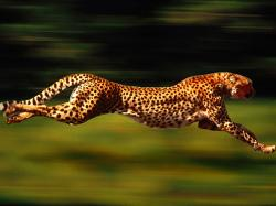 Running Cheetah