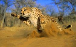 Cheetah running sand