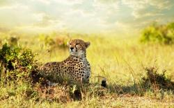 Cheetah Savanna Africa
