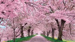 Cherry Blossoms Free Wallpaper Images