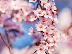 nature cherry blossoms flowers macro pink flowers focused wallpaper background