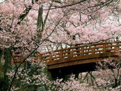... Cherry Blossom (12) ...