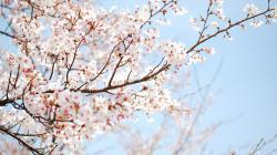 ... Cherry Blossom Wallpaper ...