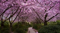 ... Cherry Blossom (11) ...