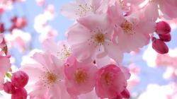 Colors Beautiful Pink Cherry Blossom Wallpaper