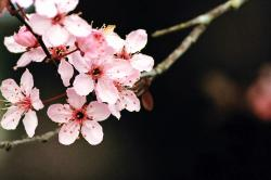 Cherry Blossom Wallpaper by SchrodingersCat19 Cherry Blossom Wallpaper by SchrodingersCat19