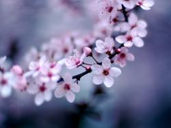 ... cute-cherry-blossom-wallpapers ...