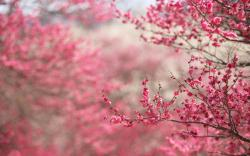 Image for Awesome Cherry Blossom (Sakura) Wallpaper HD 14