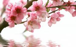 spring cherry branch flower pink water reflection wallpaper background
