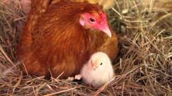 Our Chickens Hatching!