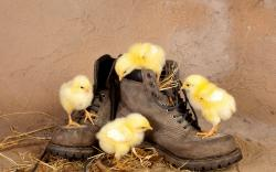 Chicken on Shoes