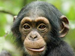 Chimpanzee · Chimpanzee · Chimpanzee · Chimpanzee · Chimpanzee · Chimpanzee
