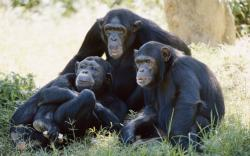 1169 Views 924 Download HD Chimpanzee Family Wallpaper