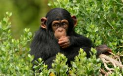Chimpanzee Branch | 2560 x 1600 | Download | Close