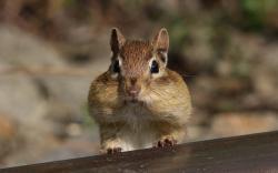 Chipmunk Serves Communion
