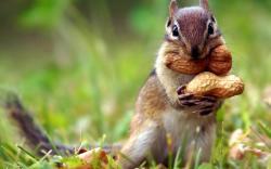 Chipmunk Peanuts