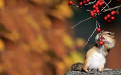 Chipmunk berries