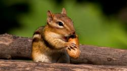 Chipmunk · Chipmunk · Chipmunk Wallpaper ...