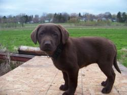 Chocolate Lab Puppies For Sale In Michigan