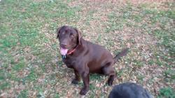 Hunting Bird Dog CHOCOLATE LABRADOR