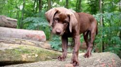Chocolate Labrador Wallpaper 46561