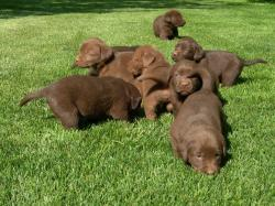 ... Chocolate Labrador Retriever ...