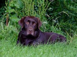 Chocolate Lab 10 ...