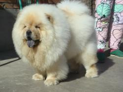 white Chow Chow