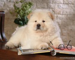 Puppies Chow Chow Puppy Wallpaper