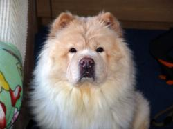 Cream Chow Chow by KinbesPhotography Cream Chow Chow by KinbesPhotography