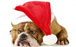 christmas new year holiday dog r wallpaper background