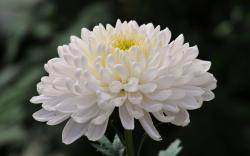classification of chrysanthemum